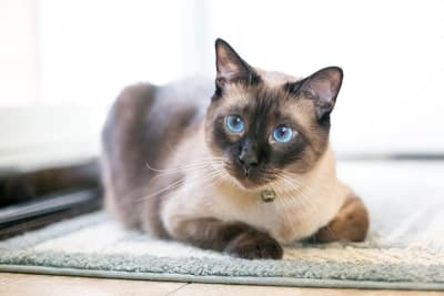 Asthma in Cats - Signs, Symptoms & Treatment