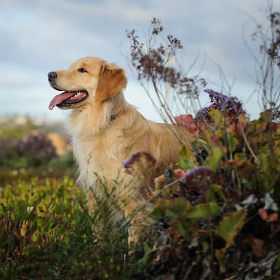 Rocky Mountain Spotted Fever in Dogs
