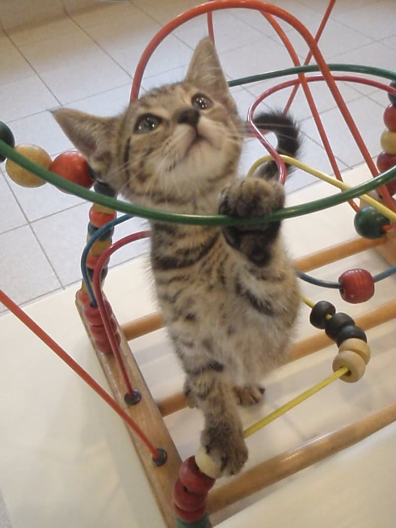 How Kittens Play and How To Tell Their Toy Preference