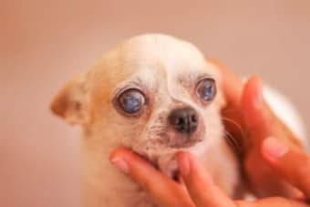 Cataracts in Dogs - What You Should Know