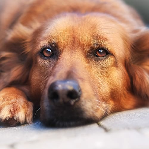Can dog's get Parkinson's disease?