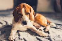 Cancer in Dogs - Signs & Symptoms