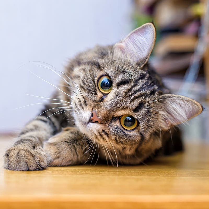 Epilepsy in Cats - Causes & Symptoms
