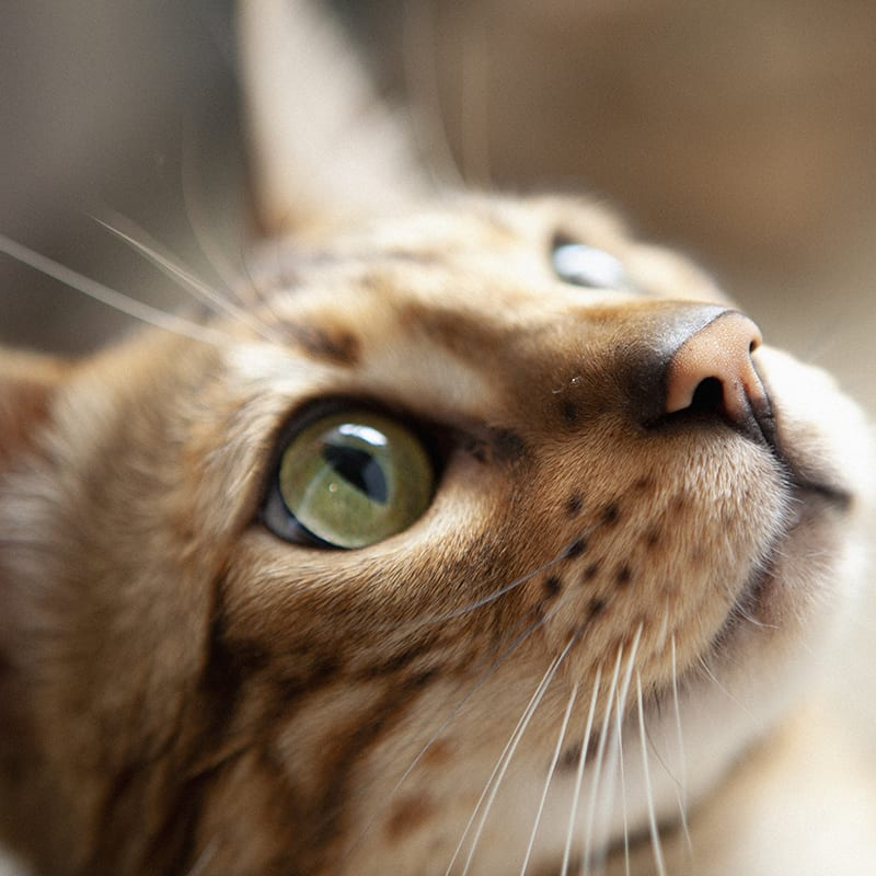 Antibiotics For Eye Infections in Cats