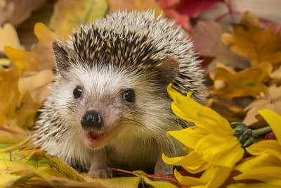 Thinking about getting a pet hedgehog? Here's what you need to know.