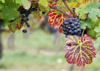Upcoming Webinar series on Red Blotch disease in grapevine