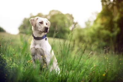 Signs & Symptoms of Lyme Disease in Dogs