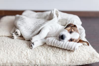 Signs & Symptoms of Anemia in Dogs