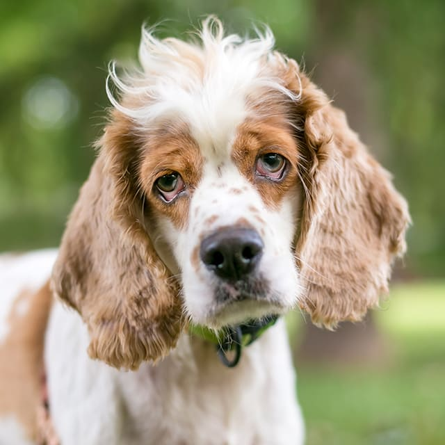 Ectropion in Dogs -  Sad Droopy Eyes & Their Potential Complications