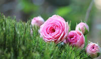 Expert Advice on Caring for Roses