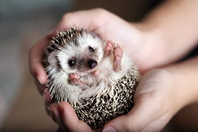 Is a hedgehog a good pet?
