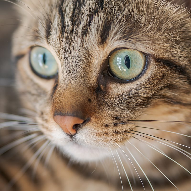 Can I use Neosporin for treating my cat's eye infection?