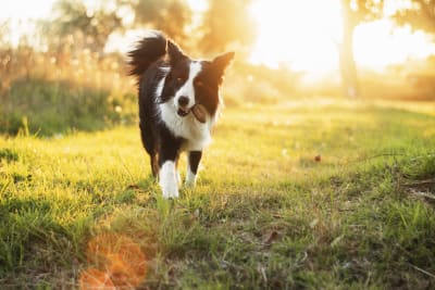Babesiosis in Dogs: Causes, Symptoms & Treatment