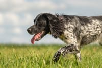 Diagnosing & Treating Fungal Infections in Dogs