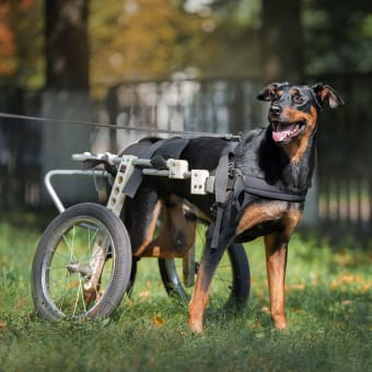 What is degenerative myelopathy in dogs?