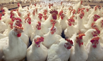 Poultry Disease Coverage