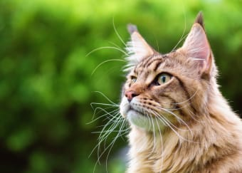 Fever in Cats: Causes, Symptoms and Care