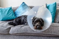 Managing Your Dog's Pain After Neutering