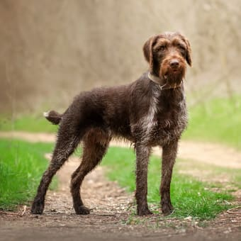 Tick Fever in Dogs - Symptoms & Treatment