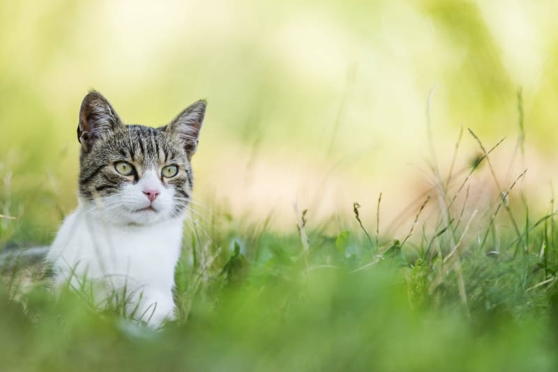 Fungal Infections in Cats: Causes, Symptoms & Treatment