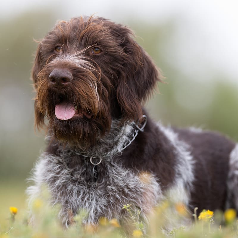 Signs of Tick Fever in Dogs & How It Is Treated