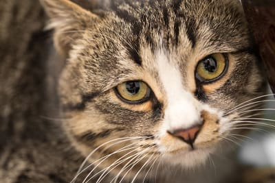 Eye Infections in Cats - Antibiotics & Other Treatments