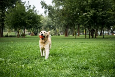 What Are The Symptoms of Rocky Mountain Spotted Fever in Dogs?