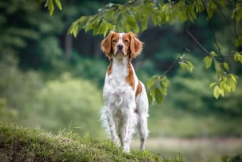 About Ehrlichiosis in Dogs