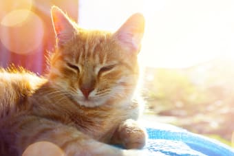 Heatstroke in Cats - Symptoms & What You Should Do