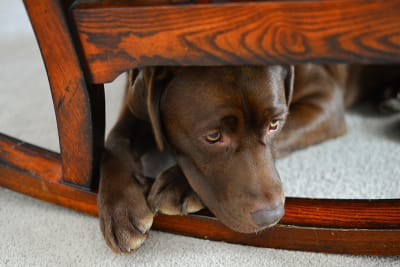 Anxiety & Depression in Dogs - What Pet Parents Need to Know