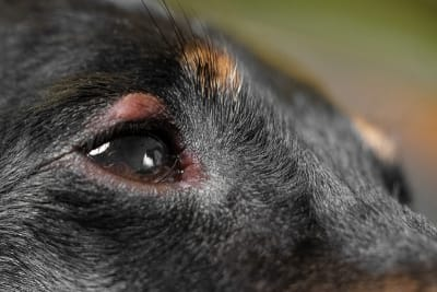 Symptoms of Conjunctivitis in Dogs