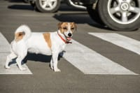 What You Should Do If Your Dog Is Hit By a Car