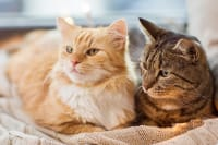 IBD in Cats - Life Expectancy