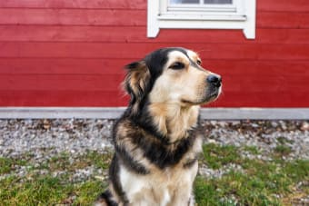 Symptoms of Rocky Mountain Spotted Fever in Dogs & How It Is Treated