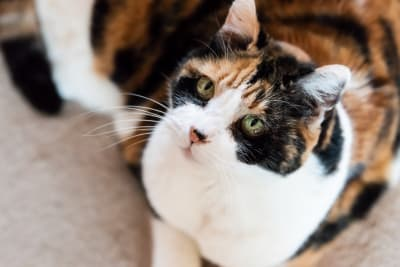 Hyperthyroidism in Cats: Symptoms, Diagnosis & Treatment Options