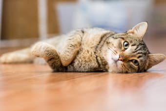 Pneumonia in Cats