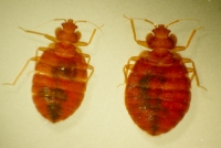 Bed Bugs: Health Impacts, Treatments, and Prevention