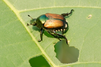Plants That Japanese Beetles Don't Like