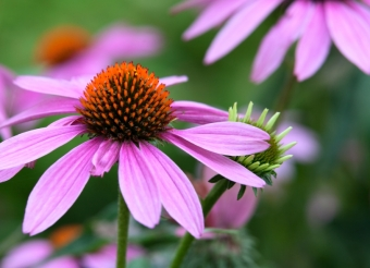 Our Favourite Drought-Tolerant Perennials