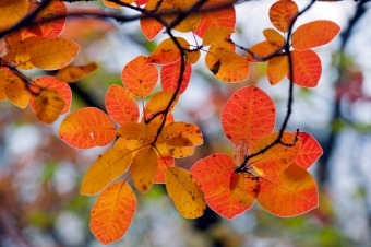Choosing Shrubs for Fall Colour