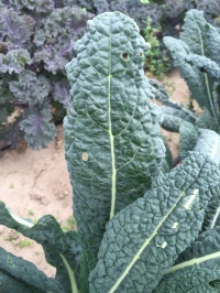 It's OK To Share Your Greens With Bugs!