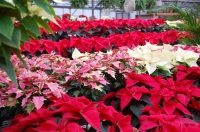 Caring for your Poinsettia