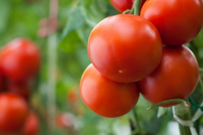Tomatoes 101 Series | Part 1 | What is the Difference Between Bush and Vine Tomatoes?