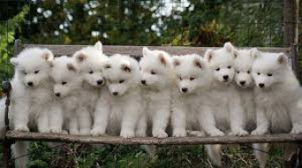 One puppy, Two puppies or more?
