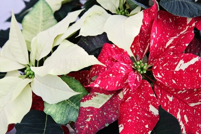 Poinsettias | Tips & Tricks for Caring for Your Holiday Plant