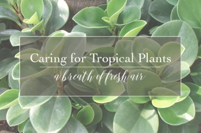 A Breath of Fresh Air | How to Care for Tropical Foliage Plants