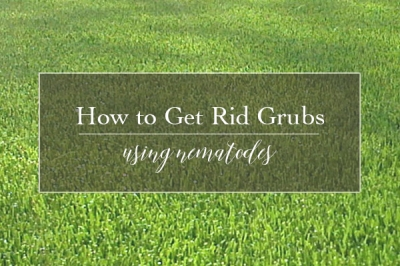 How to Get Rid of Lawn Killing Grubs | Nematodes
