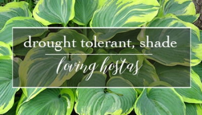 Hooray for Hostas | Drought Tolerant, Shade Loving & Gorgeous All Summer Long